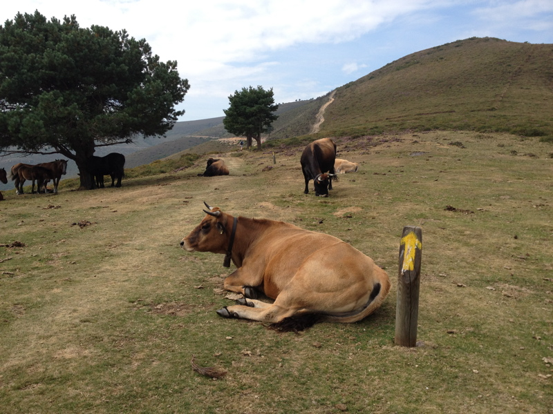 Spanish Journeys encounter with a cow on the Camino