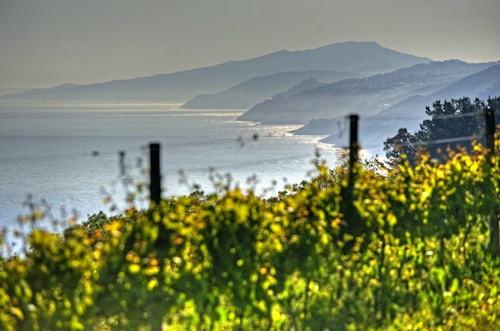 Txakoli vineyards at Elkano on the coast near Getaria
