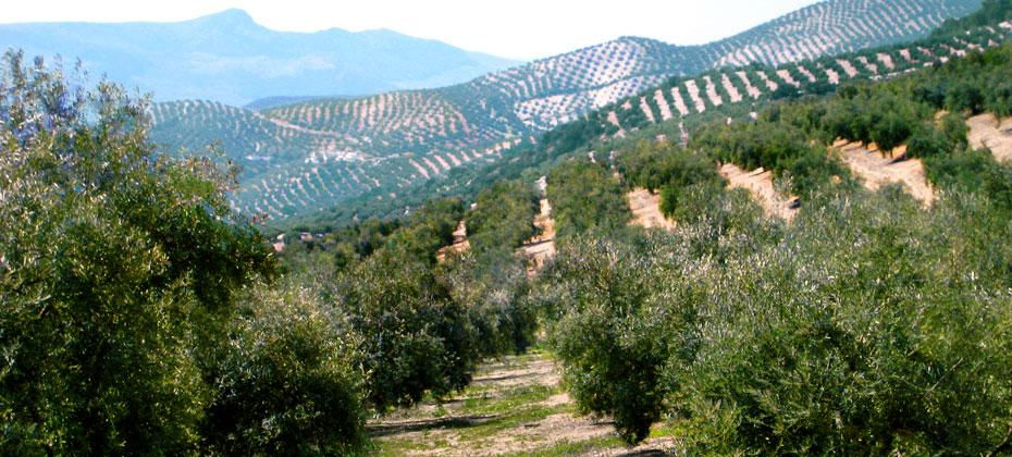 Endless groves on the Spanish Journeys route from Granada to Cordoba