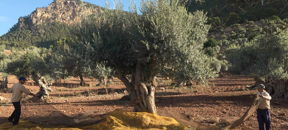 Olive harvest with Spanish Journeys in Mallorca